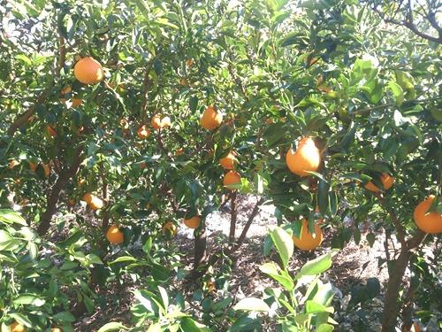 2014.3.22デコポン収穫-3